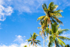 Romantic palm tree on tropical island. Bright blue sky background. Summer vacation banner template. Fluffy palm tree with green leaves. Coconut palm under Stock Photography