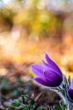 Romantic Pasque Flower Stock Photography