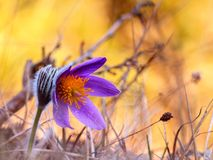 Romantic Pasque Flower Royalty Free Stock Images