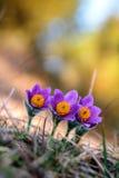Romantic Pasque Flower Stock Photo