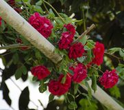Romantic and perfumed climbing red roses. Romantic Valentine's and perfumed climbing red roses on a shelter royalty free stock photography
