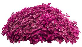 Romantic pink bush isolated on white background Royalty Free Stock Photography