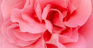 Romantic pink colored rose peony petals background wallpaper stock images