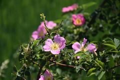 Romantic pink field crest Stock Photo