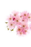 Romantic pink flowers in spring. Royalty Free Stock Image