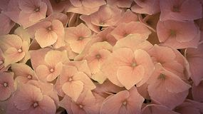 Beautiful romantic pink hydrangea background royalty free stock photography