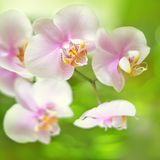 Romantic pink orchid flower Royalty Free Stock Image