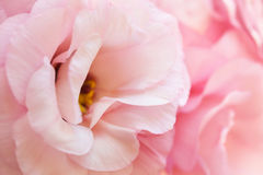 Romantic pink pure eustoma background Royalty Free Stock Images