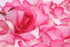 Romantic pink rose. Pink rose surrounded by petals Stock Image