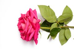 Romantic pink rose with big blossom. Huge blossom and green leaves of pink beautiful rose,on white background, isolated Stock Image