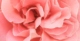 Romantic pink rose peony petals background wallpaper stock photography