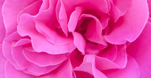 Romantic pink rose peony petals background wallpaper stock image