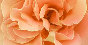 Romantic pink rose peony petals background wallpaper royalty free stock photo