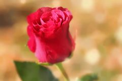 Romantic pink rose. Romantic pink victorian rose with water drops and shallow depth of field Royalty Free Stock Photos