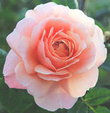 Romantic pink rose. With vintage filter Stock Photography