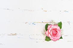 Romantic Pink Rose on white wood background. Fresh pink rose flower with gypsophila on white wooden background and place for text Stock Images
