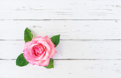 Romantic Pink Rose on white wood. Fresh pink rose blossom on white wood background with place for text Stock Images