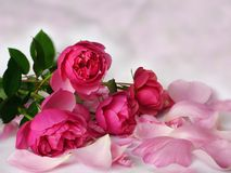 Romantic pink roses Stock Photos