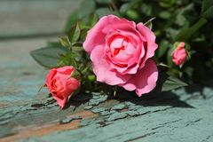 Romantic pink roses background Royalty Free Stock Photo