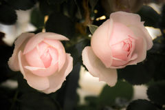 Romantic pink roses with leaves, vintage flowers Royalty Free Stock Photo