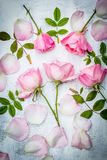 Romantic pink roses on white painted background Royalty Free Stock Photo