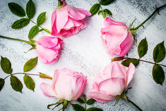 Romantic pink roses on white painted background Royalty Free Stock Photography