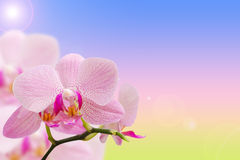 Romantic pink spotted orchids on natural gradient Stock Photos
