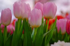 Romantic pink tulip Royalty Free Stock Image