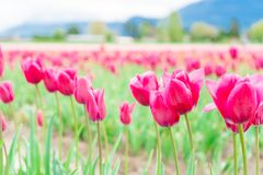 Pink tulips flowering and opening up, on a flower farm field. Selective focus on some tulips, and blurry depth of field royalty free stock image