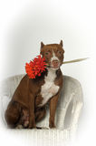Romantic Pit bull terrier Royalty Free Stock Images