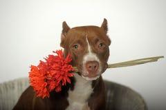 Romantic Pit bull terrier Stock Photo