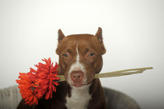Romantic Pit bull terrier Stock Photo