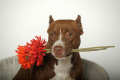 Romantic Pit bull terrier Stock Photos