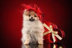 Romantic Pomeranian spitz puppy stock photography