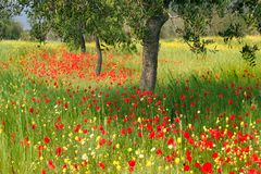 Romantic poppy field. A view of a poppy field in springtime with vivid red poppies, tall green grass and trees Royalty Free Stock Image