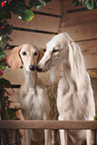 Romantic portrait of two dogs Royalty Free Stock Photos