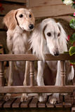 Romantic portrait of two dogs Stock Images