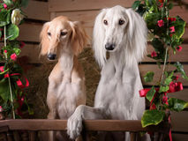 Romantic portrait of two dogs Royalty Free Stock Photo