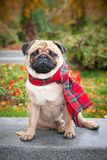 A romantic pug dog in a red checkered scarf sits on the background of the autumn city park. Royalty Free Stock Image