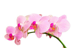 Romantic purity branch of spring pink spotted orchids. Isolated on white Stock Image