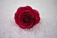 Christmas or Valentine romantic winter season photography image of red rose flowers in snow with glitter petals. Romantic real red rose flower with glitter on royalty free stock image