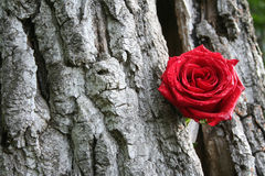 Romantic Red Rose. Single red rose in a tree Stock Image