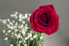 Romantic red rose on black Stock Images