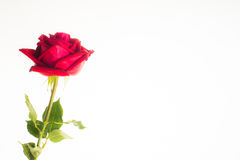 Romantic red rose border white background. Romantic red rose, symbolic for love, on white background a gift for loved one on Valentines or anniversary Stock Photography