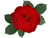 Romantic red rose flower ,isolated on white background stock photography