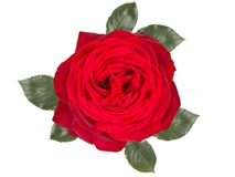 Romantic red rose flower ,isolated on white background. Romantic red rose flower,isolated on white background Royalty Free Stock Image