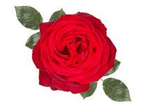 Romantic red rose flower , isolated on white background stock photography