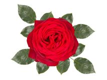 Romantic red rose flower ,isolated on white background royalty free stock photos