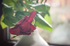 A Red Rose in Hazy Light. A romantic red rose in hazy light near a window for a vintage look stock photos
