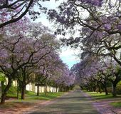 Romantic road with blooming purple Jacaranda flowers. Jacaranda trees  in Brooklyn, Pretoria, South Africa Stock Images